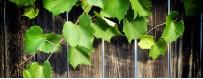Grape leaves and artichoke